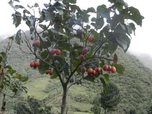 Tree Tomato Organic, NON-GMO Seeds - Caribbeangardenseed