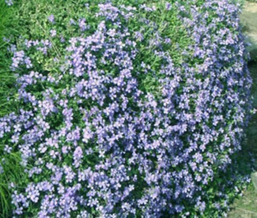 Rock Cress  Flowers Seed ,Aubrieta Pale Blue ,ground cover - Caribbeangardenseed