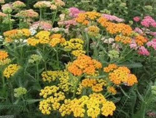 5000 Mix Yarrow Seeds - pink, rose, orange-red, purple, gray, salmon and mauve ! - Caribbeangardenseed