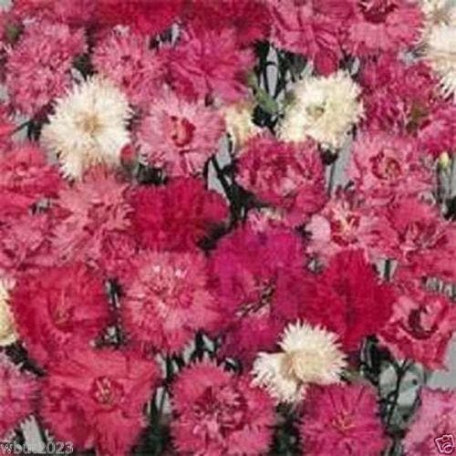 Dianthus Seeds - Spring Beauty, Fragrant, fringed double and semi-double blooms - Caribbeangardenseed