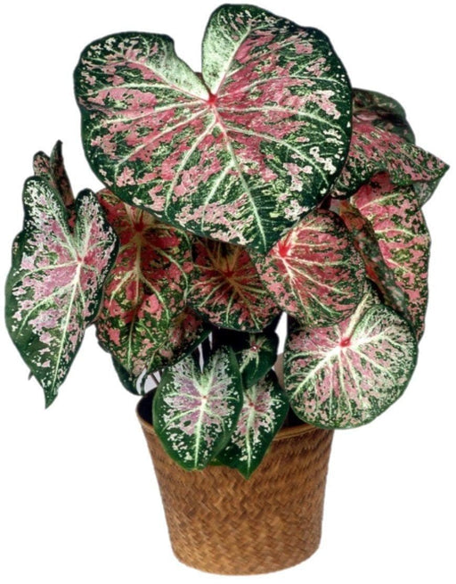 Caladium Bulbs (Caladium Pink Cloud) Tropical Look, Jamaican Coco Rose - Caribbeangardenseed