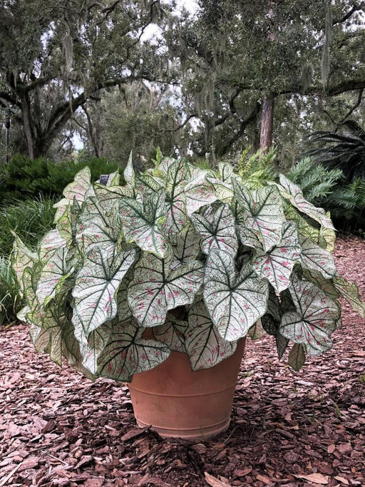 Cranberry Star , Caladium Bulbs - Caribbeangardenseed