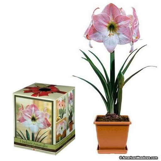 Amaryllis Assorted Pre-potted (Growing Kit - Bulb/Pot/Soil) -Please Select A Color - Great Gift - Caribbeangardenseed