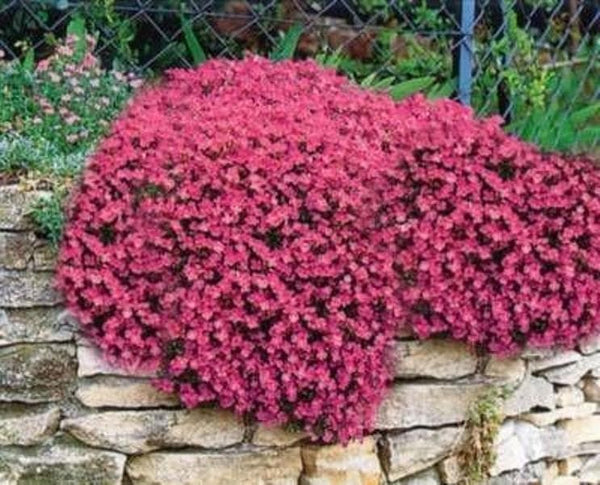 Rock Cress, Aubrieta Flowers Seeds - Cascade red , - Caribbeangardenseed