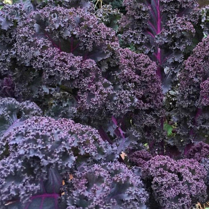 Scarlet Kale Vegetables Seed - microgreens,baby leaf, Ornamental foliage - Caribbeangardenseed