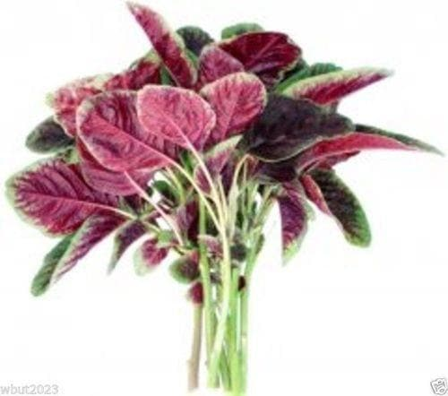 "Amaranth Seeds""Red Beauty"" Asian Vegetables ,CHINESE SPINACH Yin Cho or Callaloo ! - Caribbeangardenseed"
