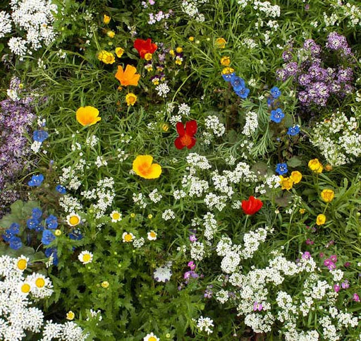 Low Growing Wildflower Seed Mixture, Annuals and Perennials - Caribbeangardenseed