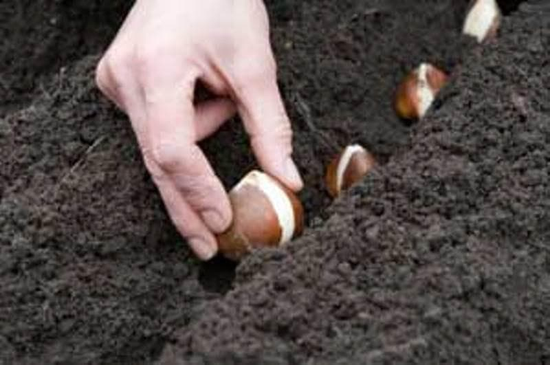 Yellow Spring Green Tulip Bulbs , Fall Planting ., Shipping now! - Caribbeangardenseed