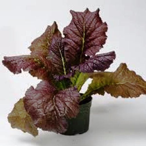 Red Giant Mustard - Multi-purpose, microgreens,Ornamental filler in the flower bed and also as an edible vegetable. - Caribbeangardenseed