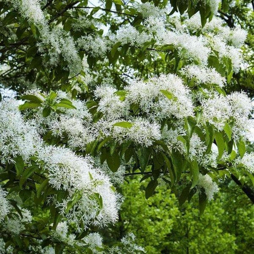 Chinese Fringe Tree Seeds,Chionanthus,ornamental tree - Caribbeangardenseed