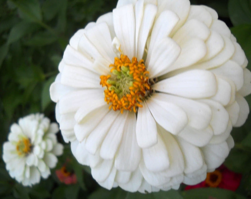 Zinnia  Elegans Polar Bear White- (Flowers seed) Butterflies And Hummingbirds love them - Caribbeangardenseed