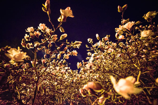 "POS ""Evening Blossoms II"" (12x18 Fine Art Print)"