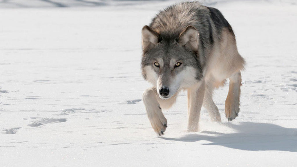 How to Deter Wolves from your Pets and Livestock