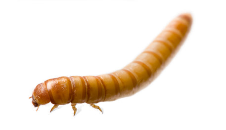 mealworms-for-sale
