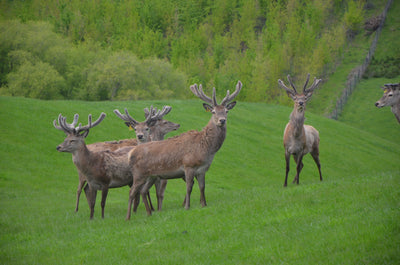 No deer are harmed during the collection of Mountain Red deer velvet