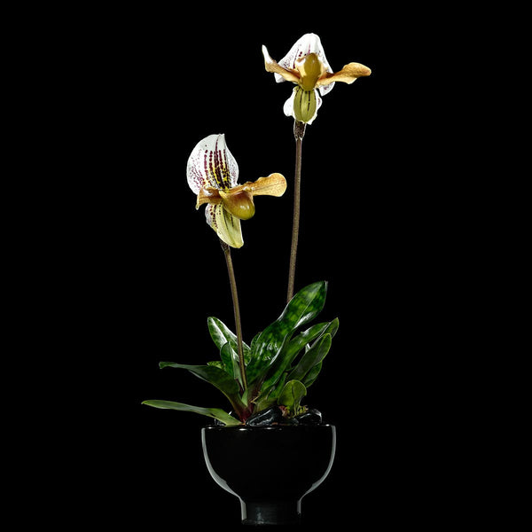 Slipper Orchids - Bloom Flowers