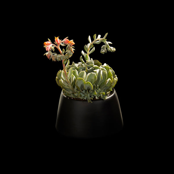 Succulent exotique | Bloom Flowers