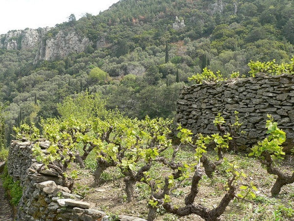 A NATURAL MONUMENT OF VITICULTURE.