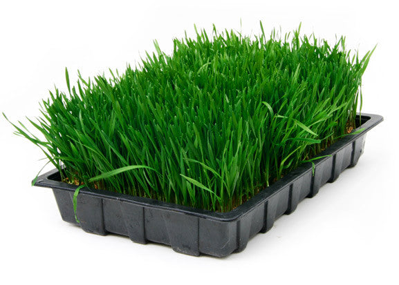 wheatgrass growing