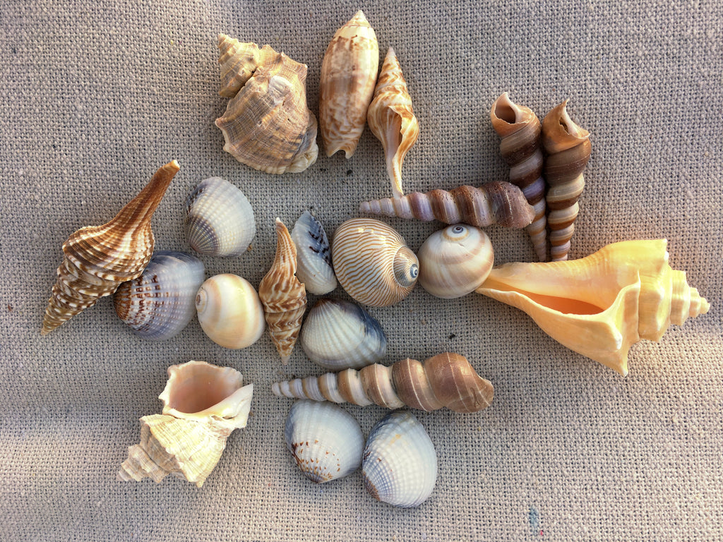 Two Bags of Exotic Sea Shells