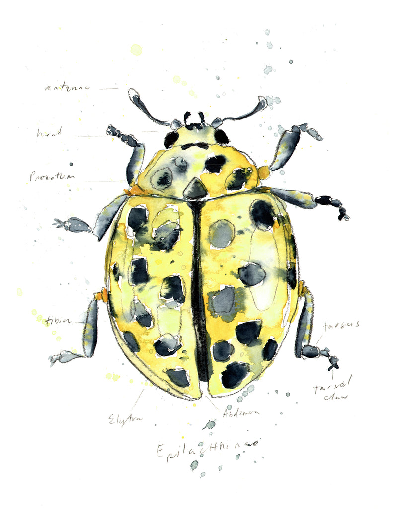 Lemon Lady Bird - Morphology Collection