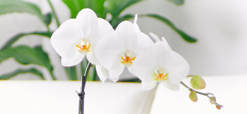 Orchid Delivery NYC