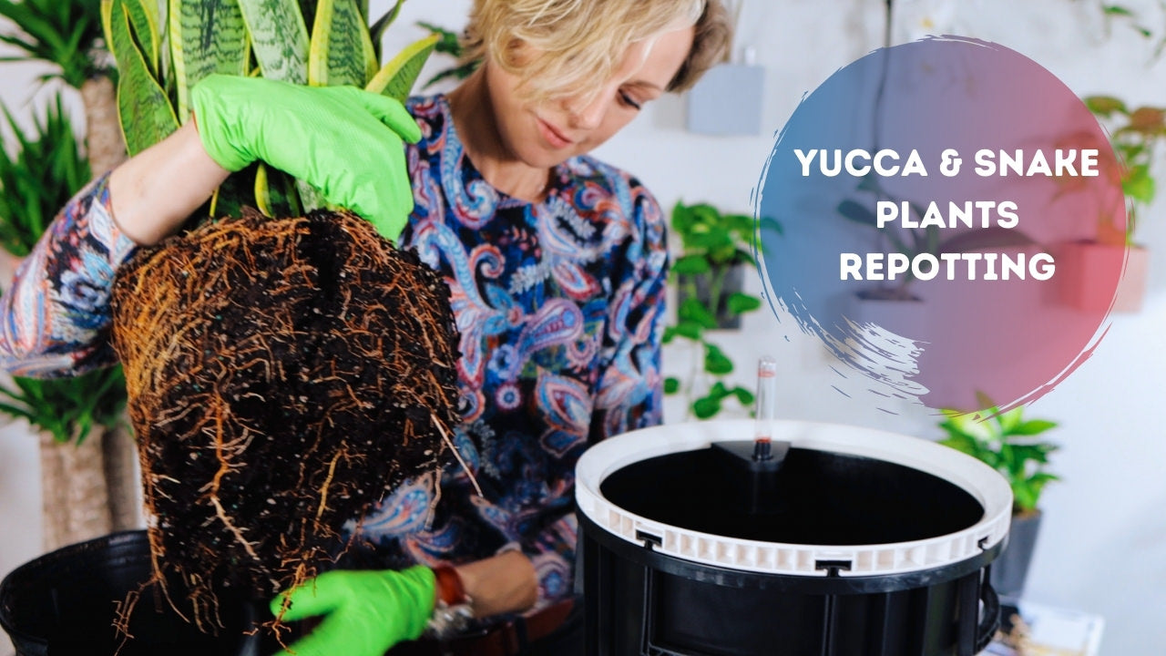 Repotting Yucca and Snake Plants