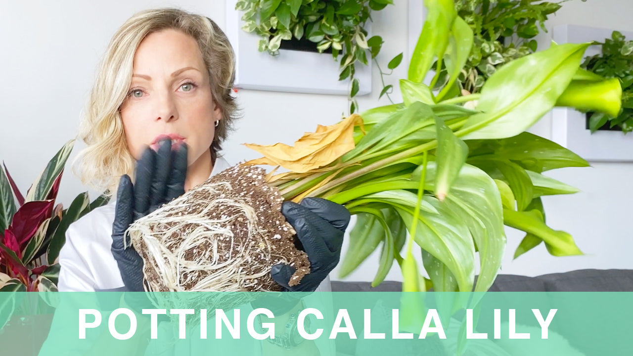 How To Pot Calla Lily