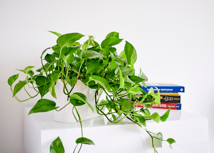 cascading pothos on the dresser