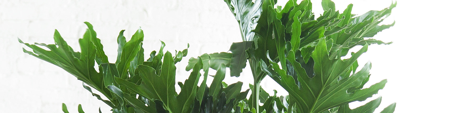 cutleaf philodendron nyc