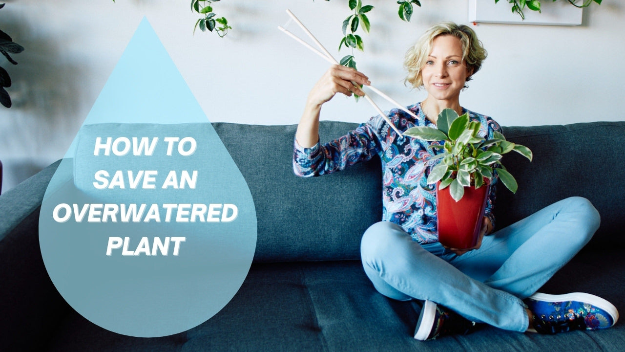 How to save an overwatered plant