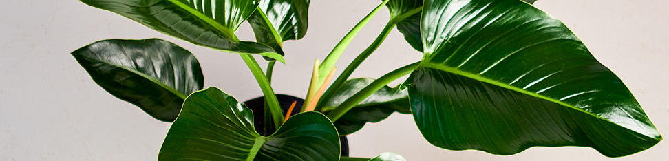 Philodendron Green Congo Plant Delivery