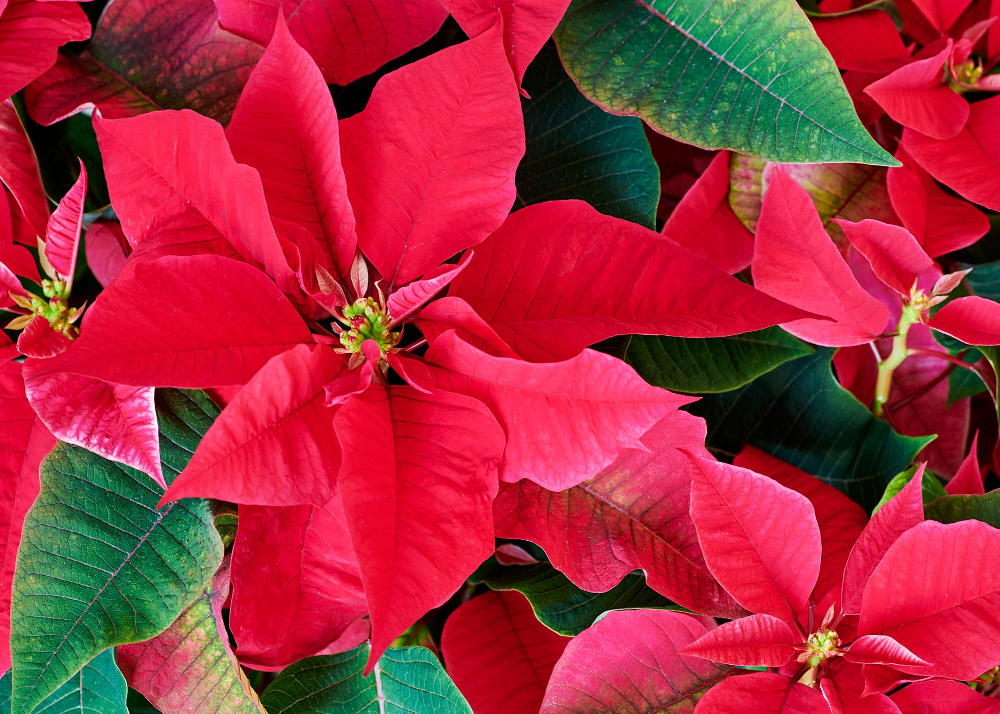 Poinsettia plant delivery in NYC and NJ