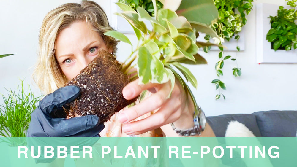 Repotting My Rubber Plant