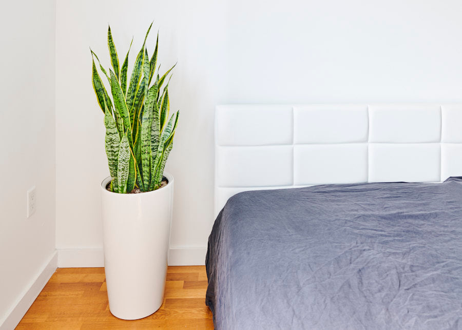 snake plant perfect for bedroom