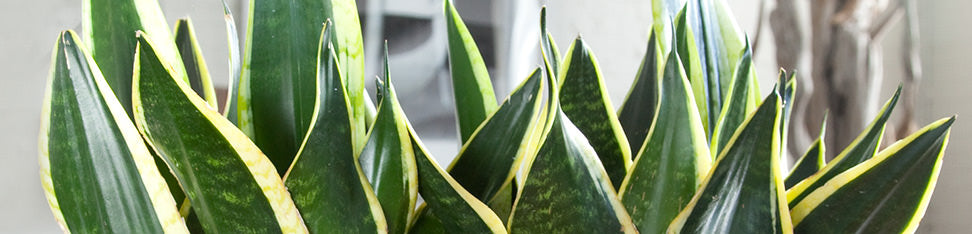 Snake Plants Delivery - My City Plants