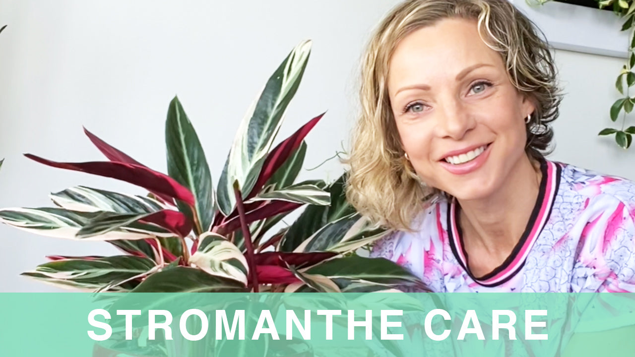 Stromanthe plant care