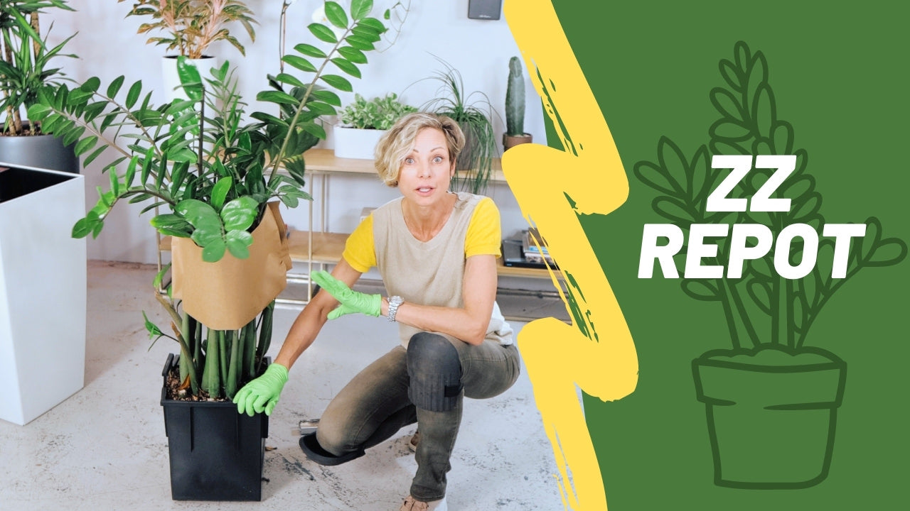 How to repot ZZ plant