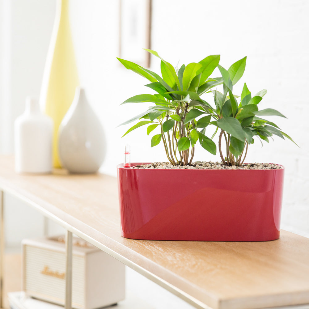 Ardisia Potted In Lechuza Windowsill Red Planter - Shop Online - My City Plants