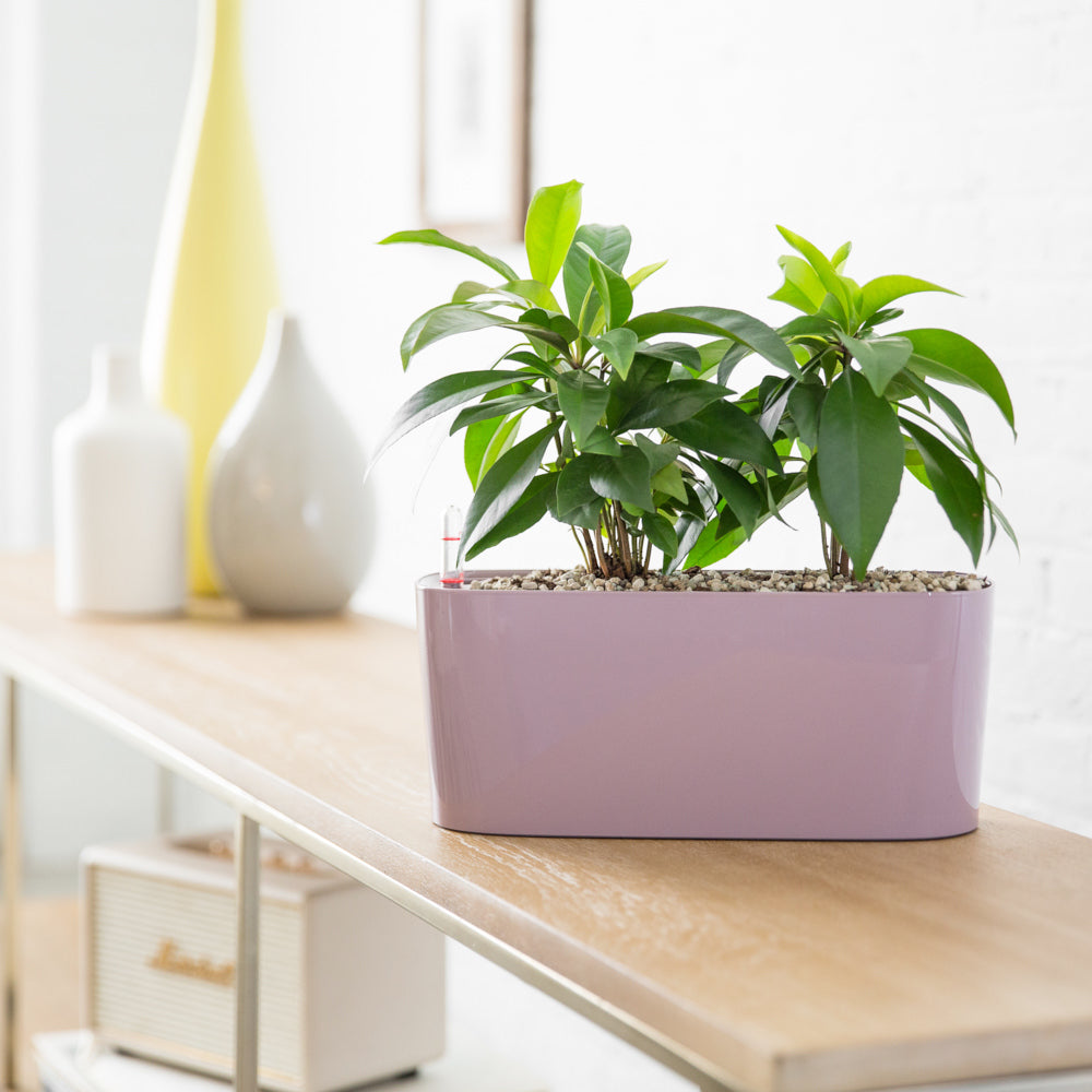 Ardisia Potted In Lechuza Windowsill Violet Planter - Shop Online - My City Plants