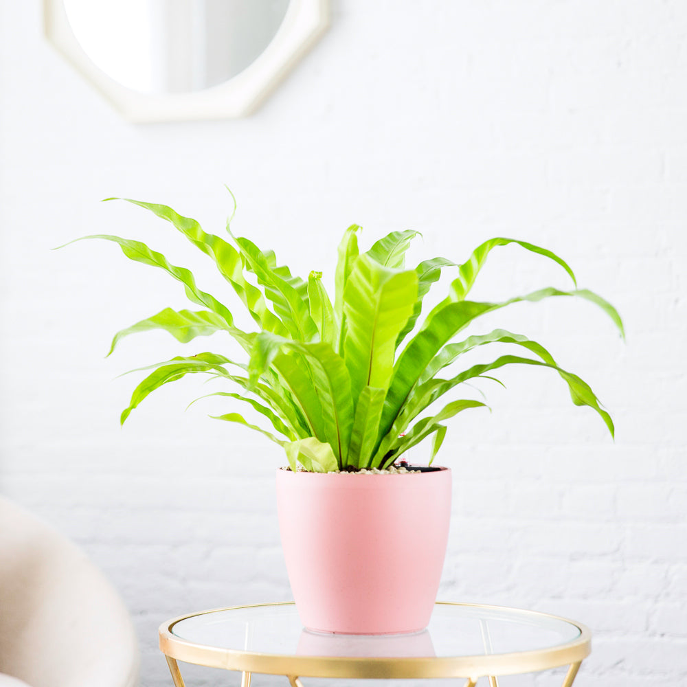 "Bird's Nest Fern Potted In Classico 7"" Pink Planter
