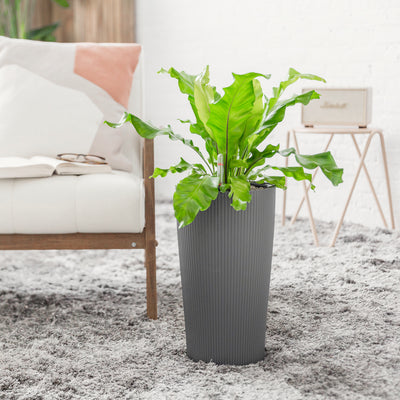Bird's Nest Fern Potted In Lechuza Cilindro Slate Planter | My City Plants