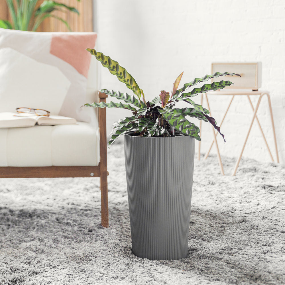 Calathea Rattlesnake Potted In Cilindro Slate Planter - Shop Online - My City Plants