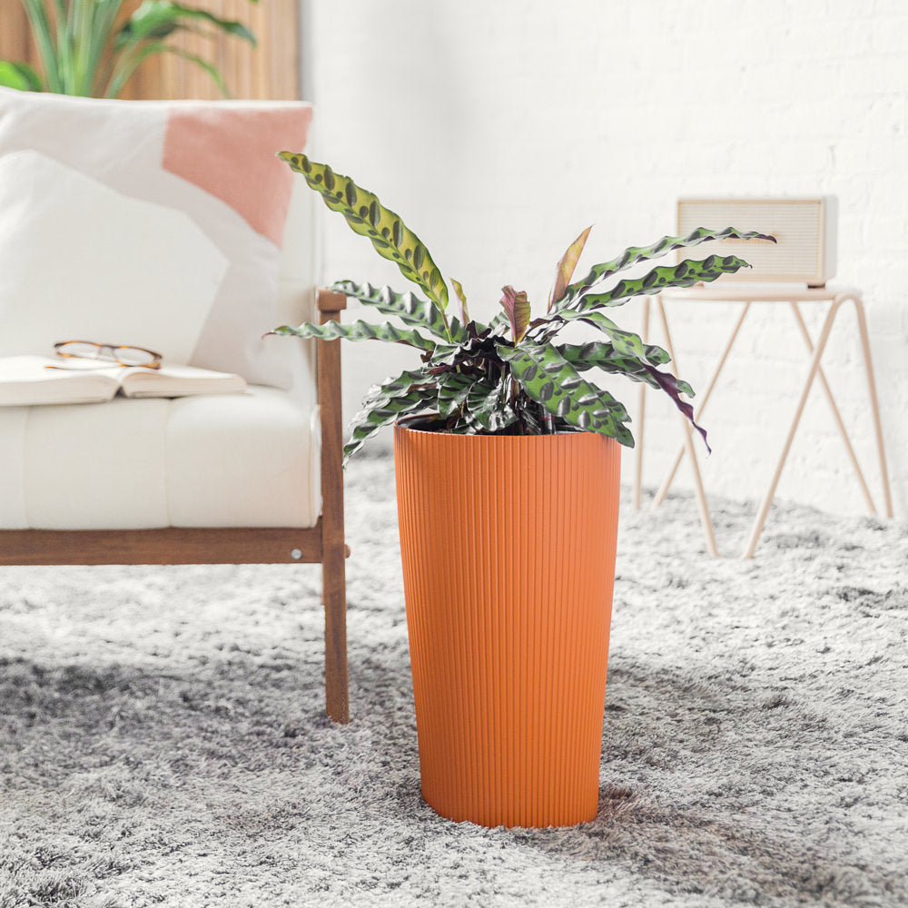 Calathea Rattlesnake Potted In Lechuza Cilindro Sunset Orange Planter - Shop Online - My City Plants