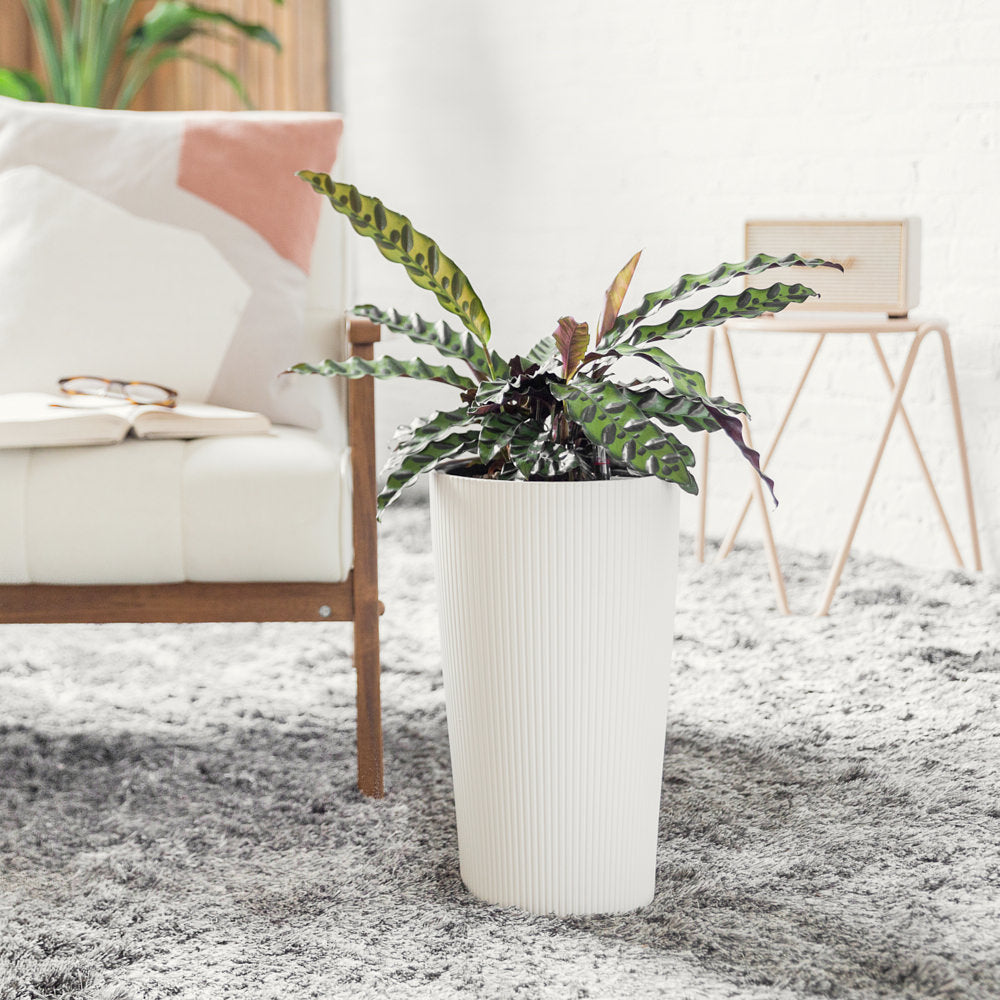 Calathea Rattlesnake Potted In Cilindro White Planter - Shop Online - My City Plants
