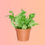 "Fern Crispy Wave In 4"" Nursery Pot 
