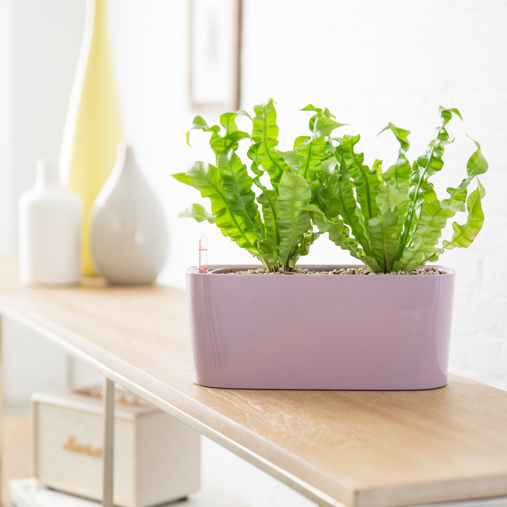 "Fern ""Crispy Wave"" In Lechuza Windowsill Mini Violet Planter - Shop Online - My City Plants"