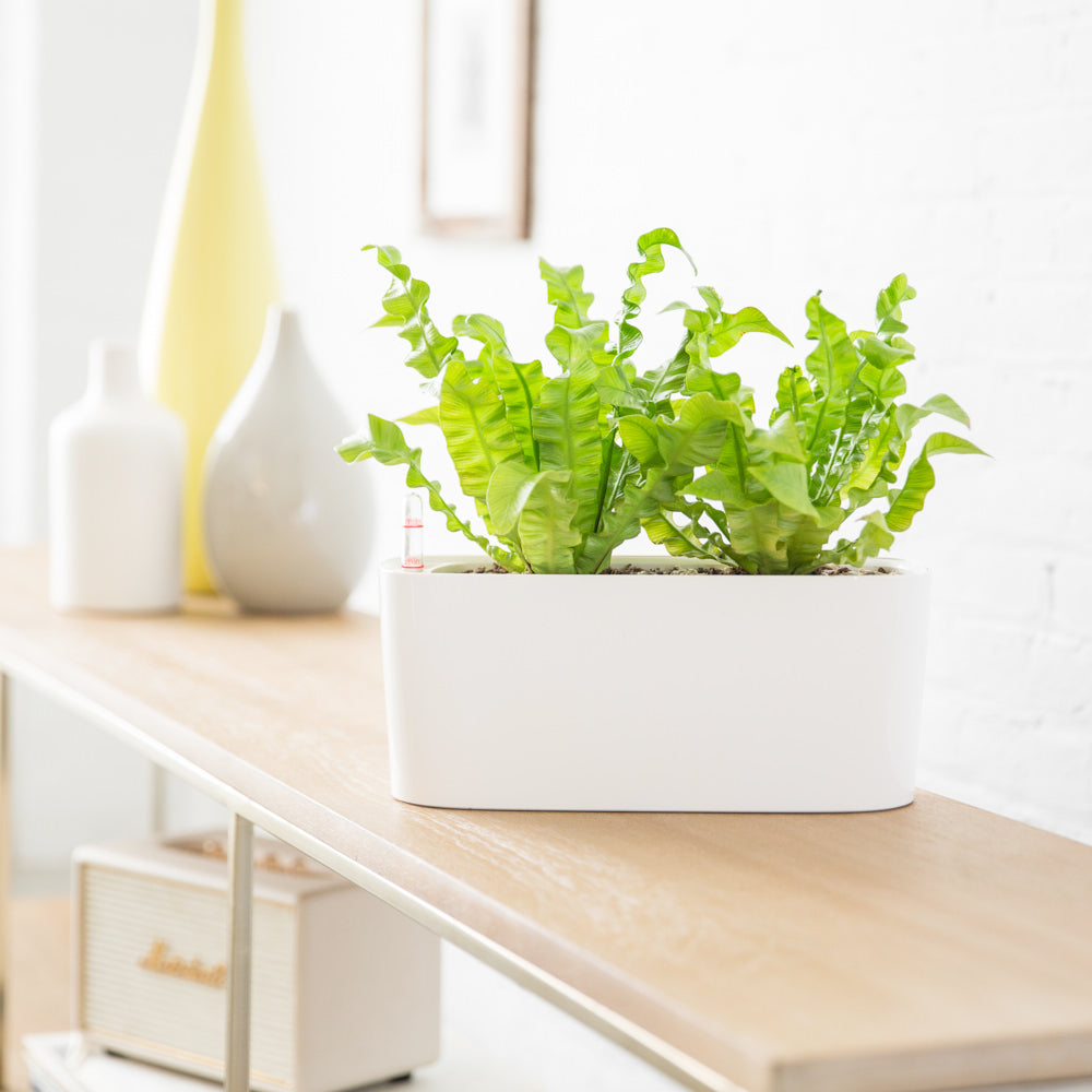 "Fern ""Crispy Wave"" In Lechuza Windowsill Mini White Planter - Shop Online - My City Plants"