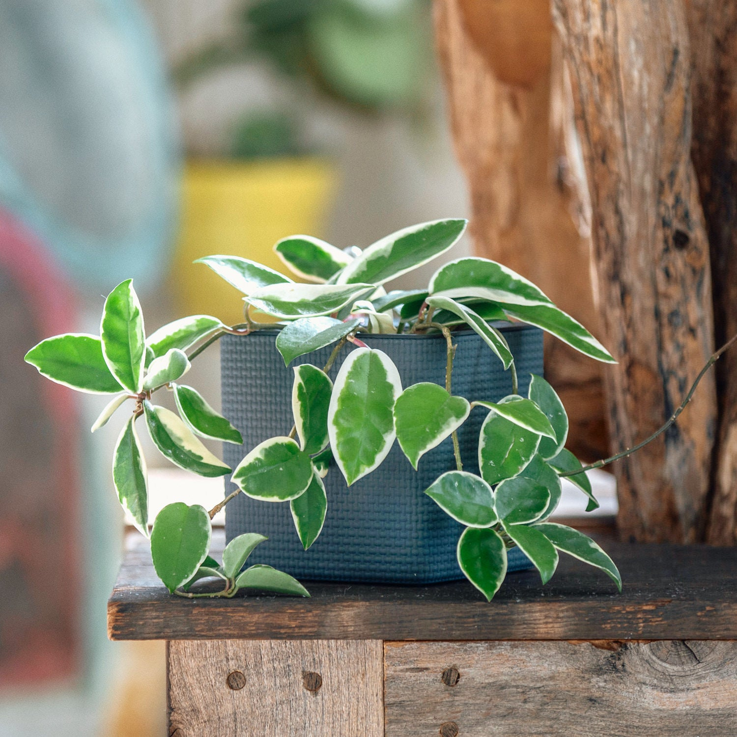 Hoya Carnosa Tricolor In Lechuza Cube 14 Slate Planter | My City Plants