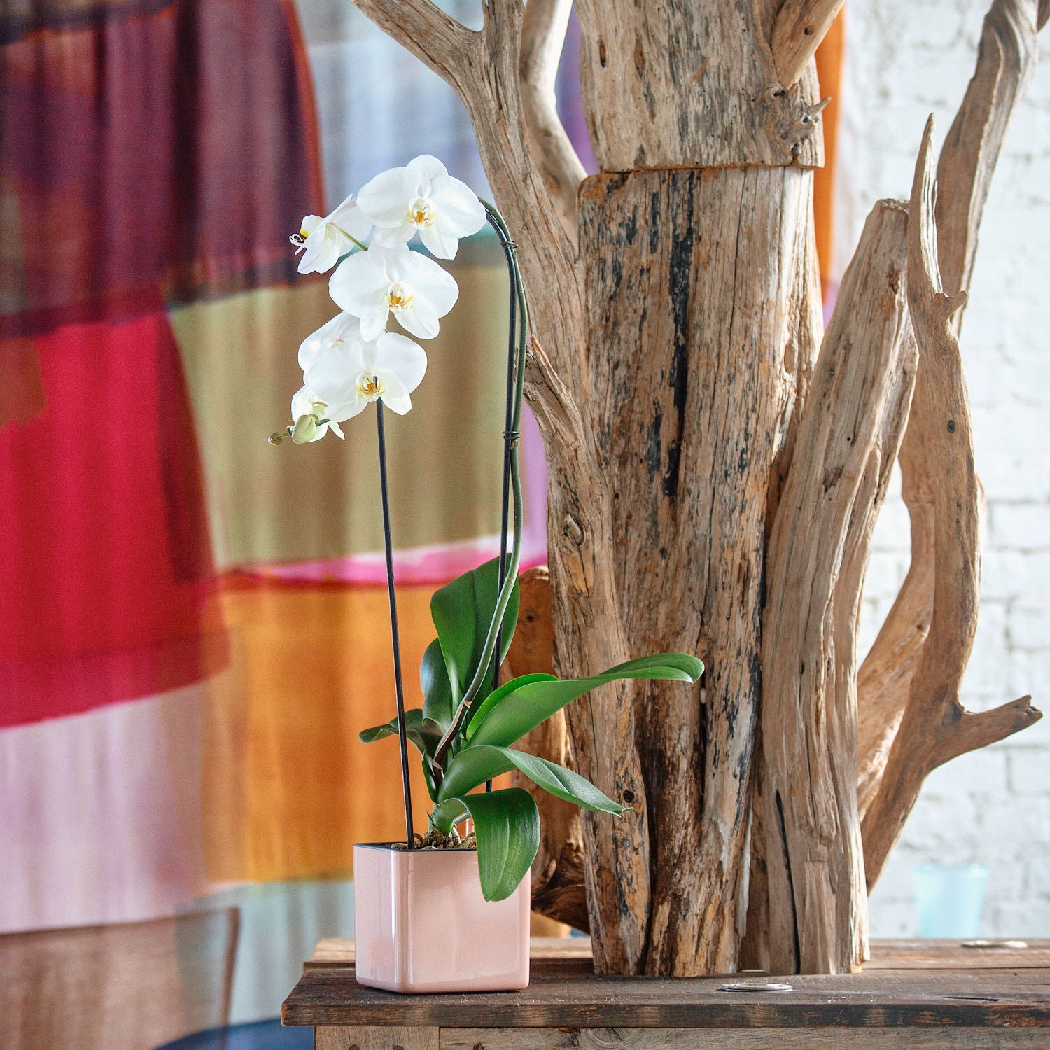 Phalaenopsis Orchid In Cube 14 Cashmere Planter | My City Plants